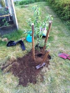 Jag är hyfsad på att plantera fruktträd, men inte fullt lika bra på att sköta dem