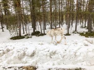 En vit ren på vägen mellan Jokkmokk och Purkijaur