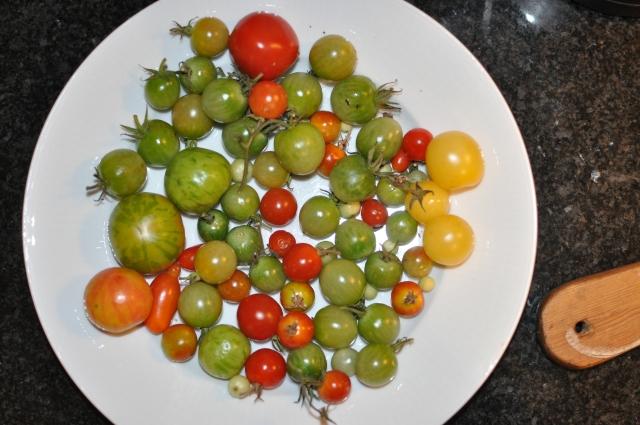 Årets sista tomater från växthuset