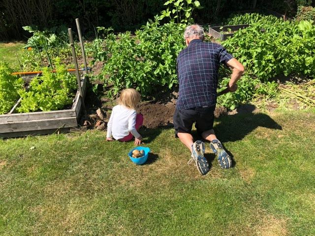 Pappa och Astrid gräver upp potatis för lunchen