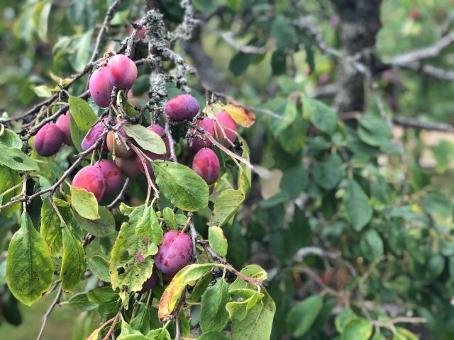 Första helgen december 2017 flyttade vi till huset där vi bor i Sjömarken, så det här är vår första sommar här. Spännande att se vad trädgården bjuder på. Många och goda plommon. Äpplen. Röda vinbär. Krusbär.