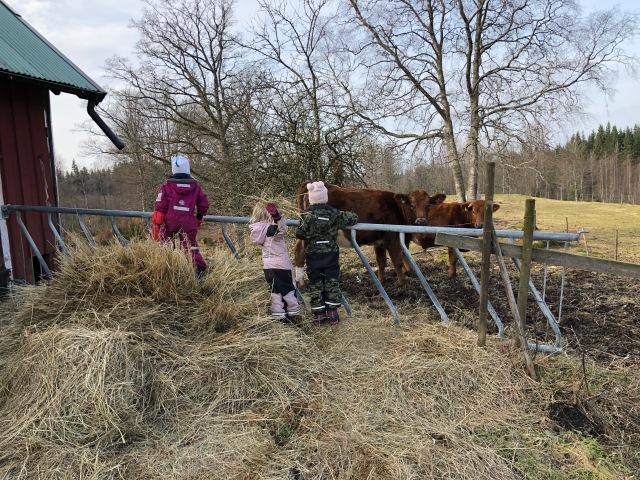 Idas syster Erika med familj var i Borås förra veckan på deras sportlov. Kul att barnen har kusinerna i samma åldrar. Här syns Idas föräldrars kossor.