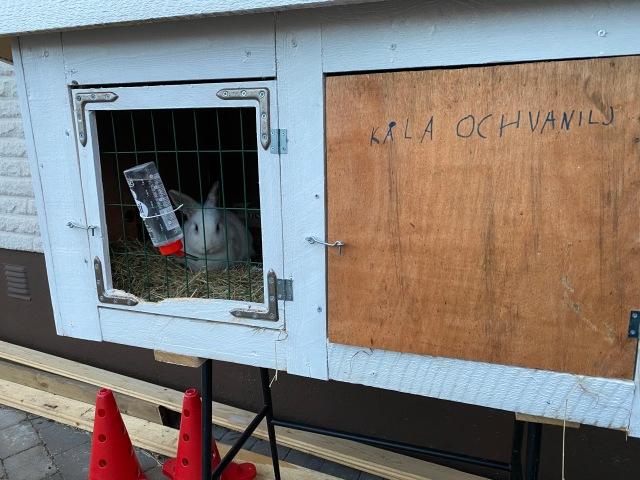Vi har skaffat kaniner. Maj skrev deras namn på buren en dag, dock med en annorlunda stavning på ett av namnen. Cola och Vanilj, båda är vita.